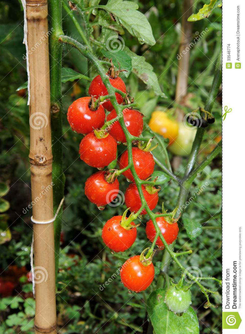 cherry tomato plant stock photo image of tied europe. Black Bedroom Furniture Sets. Home Design Ideas