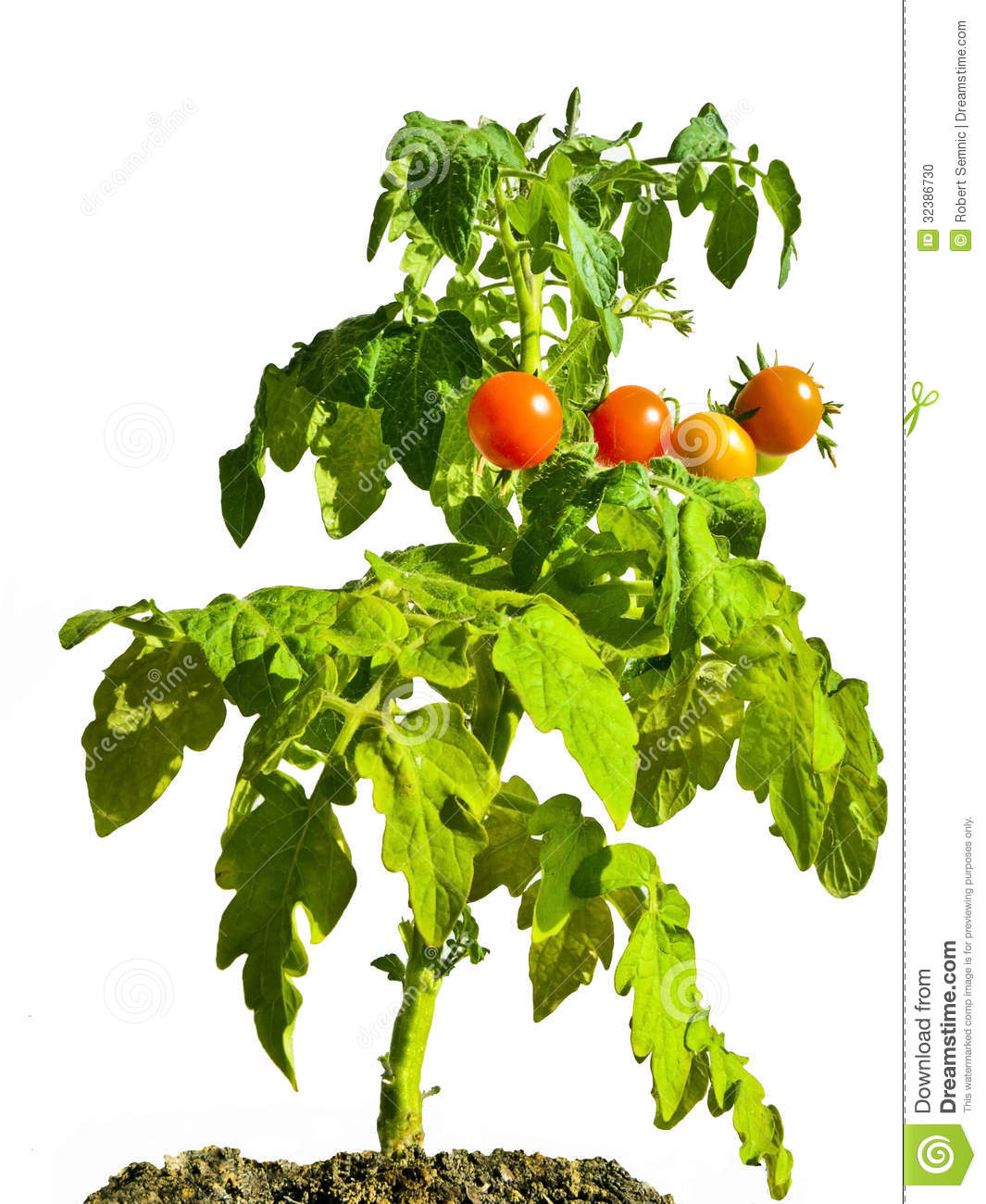 tomato fruit or vegetable irons fruit farm