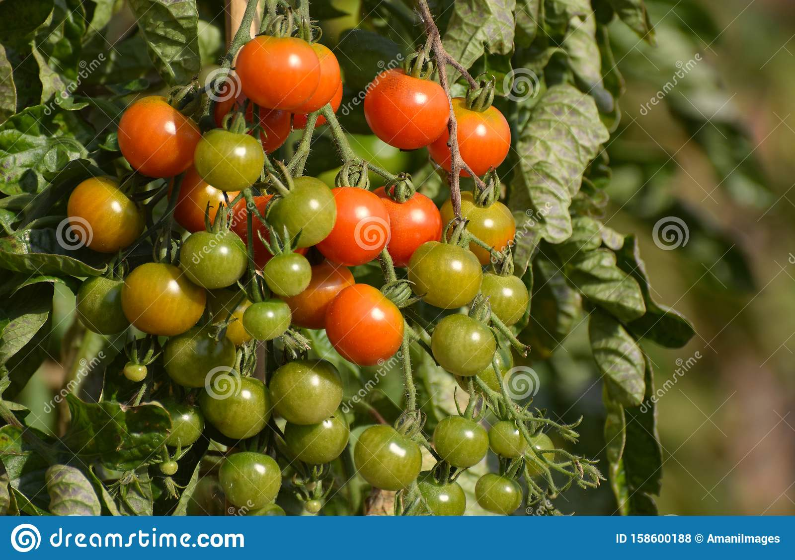 Cherry tomatoes ripening as they grow on the vine