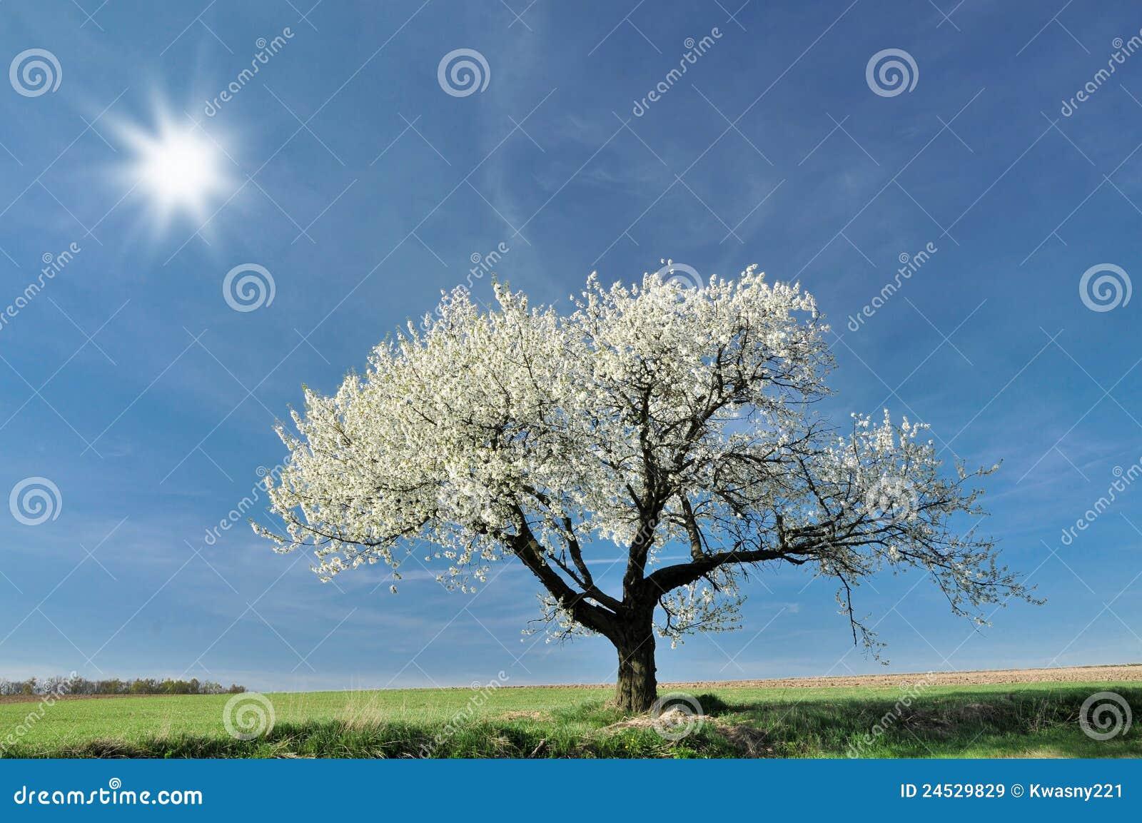 Cherry tree royalty free stock images image 24529829 - Romanian cherry tree varieties ...