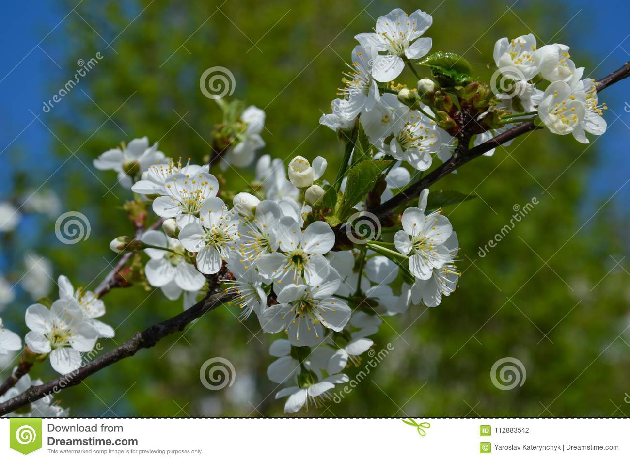 The Cherry Tree Blooms With White Flowers Stock Photo Image Of