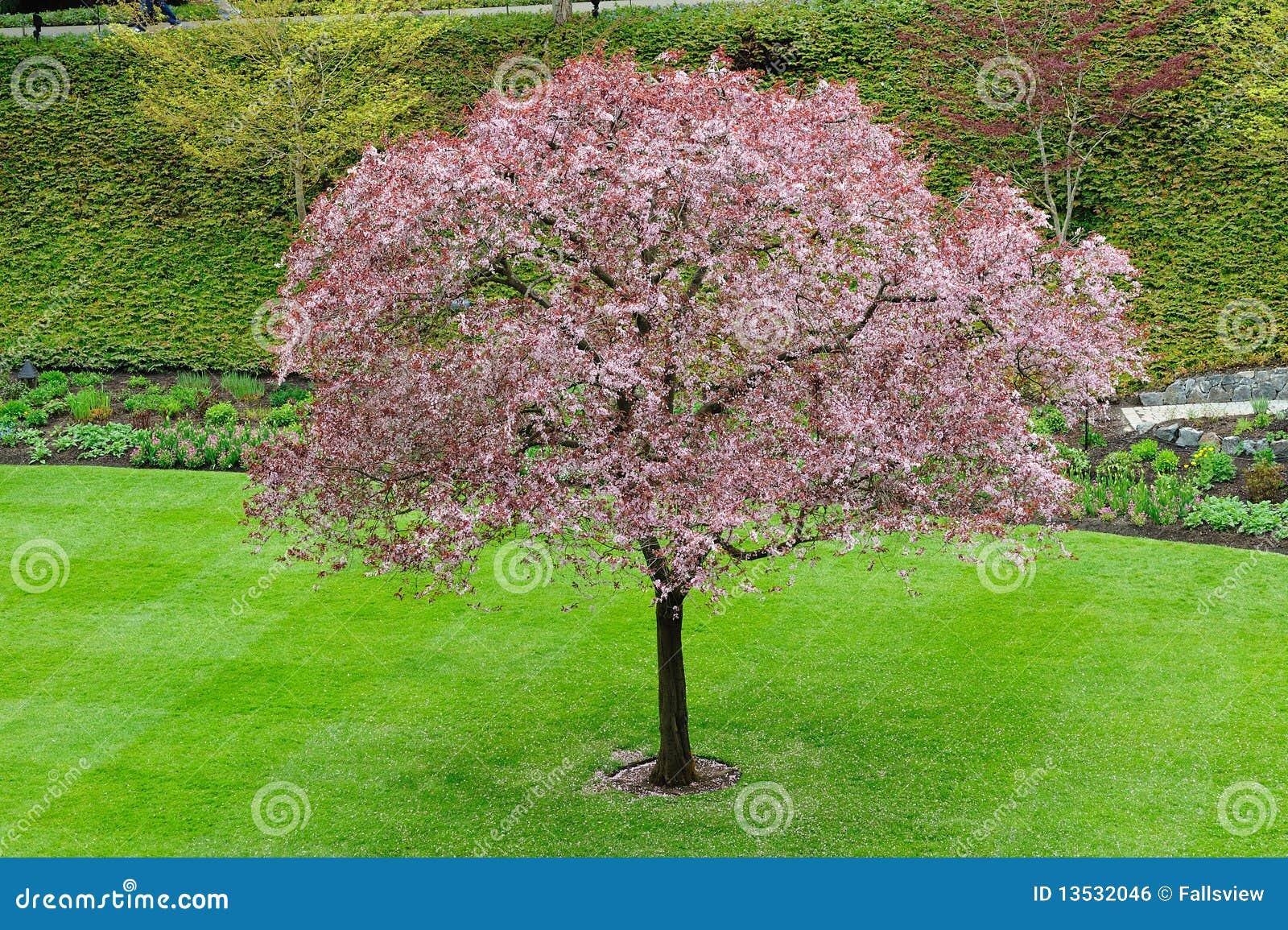 Cherry Tree Blossom Ro...
