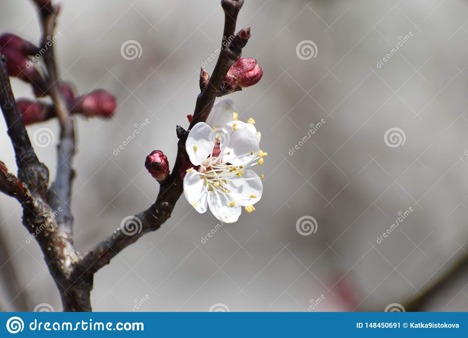 Cherry tree blossom flower - blooming cherry tree