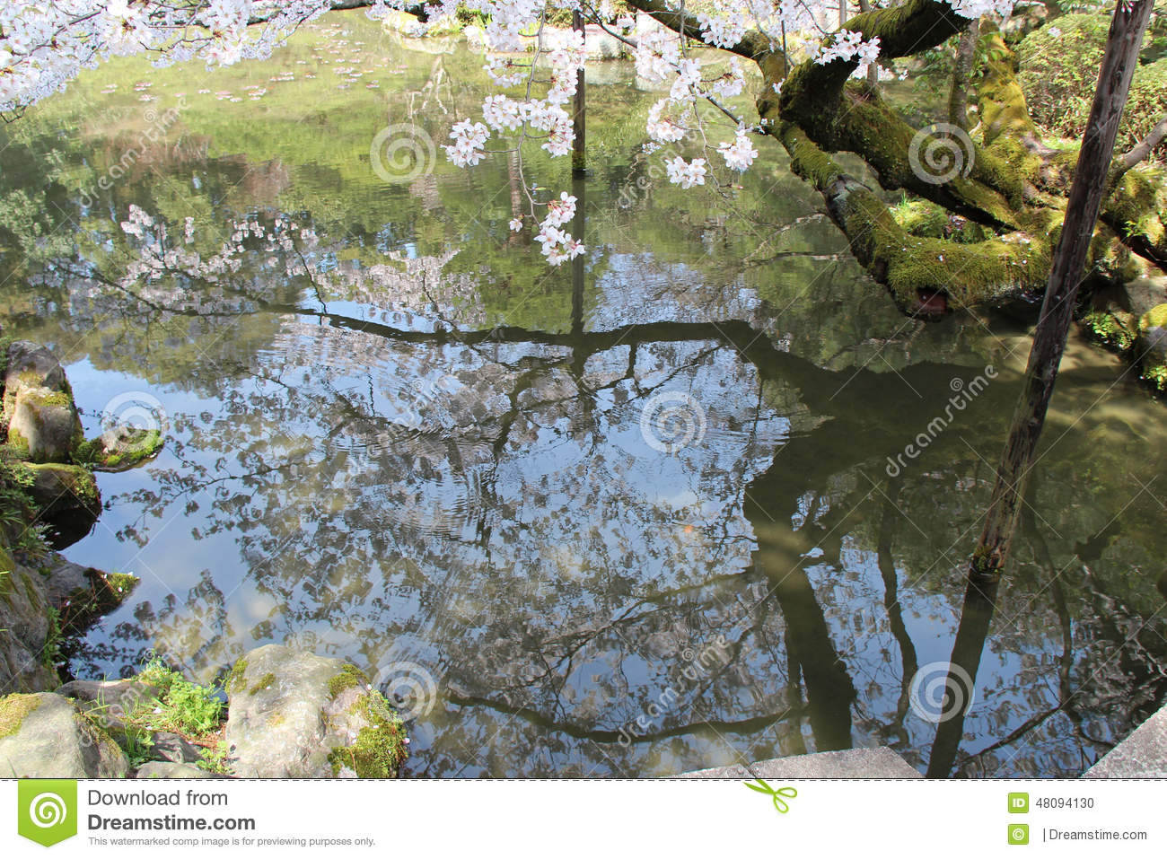 A cherry tree in flower is reflected in a pond japan for Your pond japan