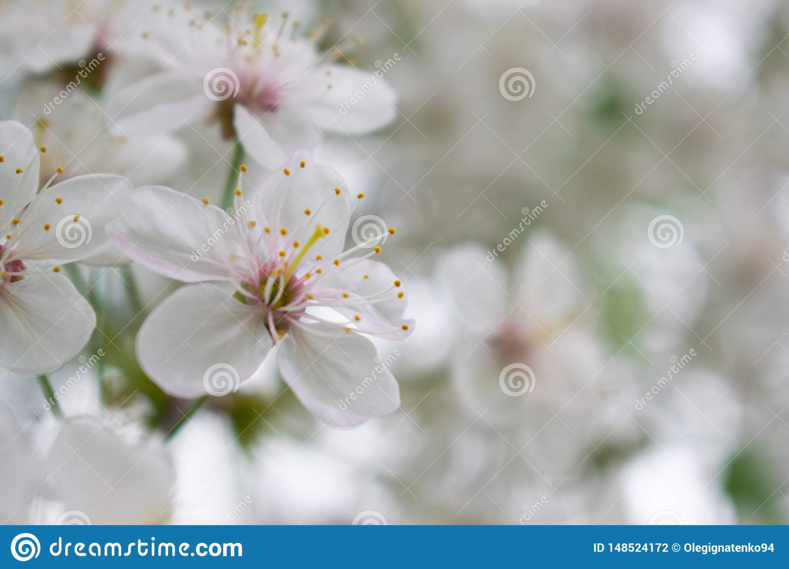 Cherry tree with white flowers for backgroudn