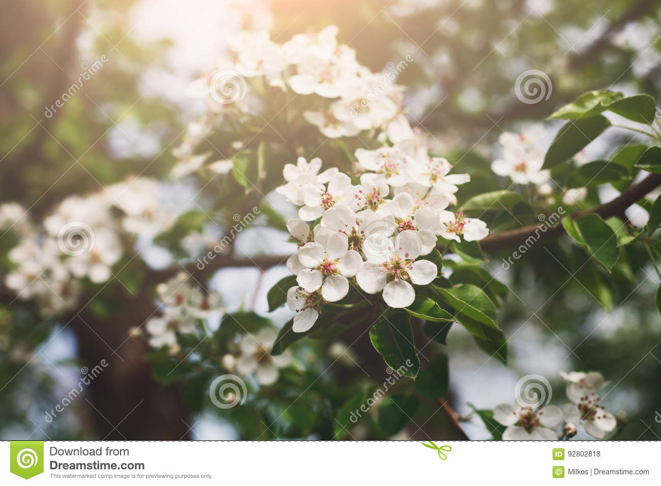 Cherry Tree Spring Blossom Branch With Flowers Closeup Stock Photo
