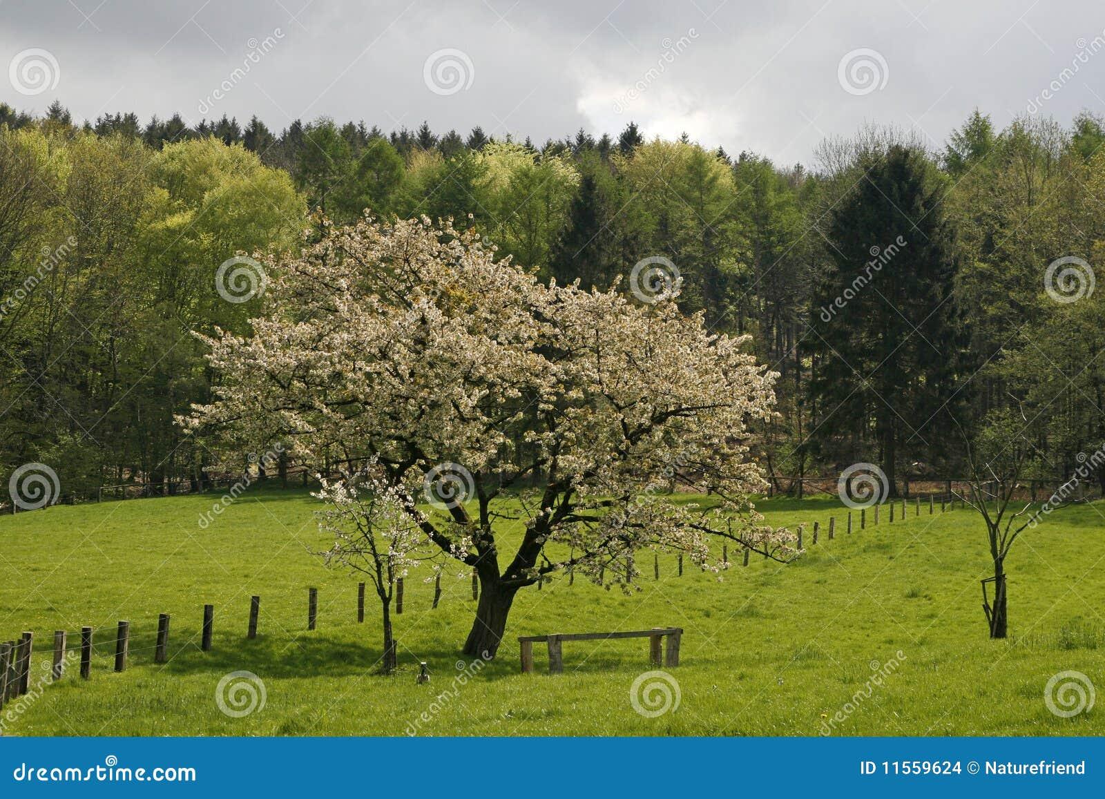 Cherry tree in spring, Lower Saxony, Germany