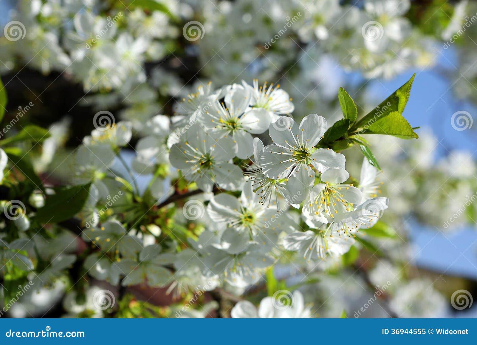 Cherry Tree Spring White Flowers Royalty Free Stock Image