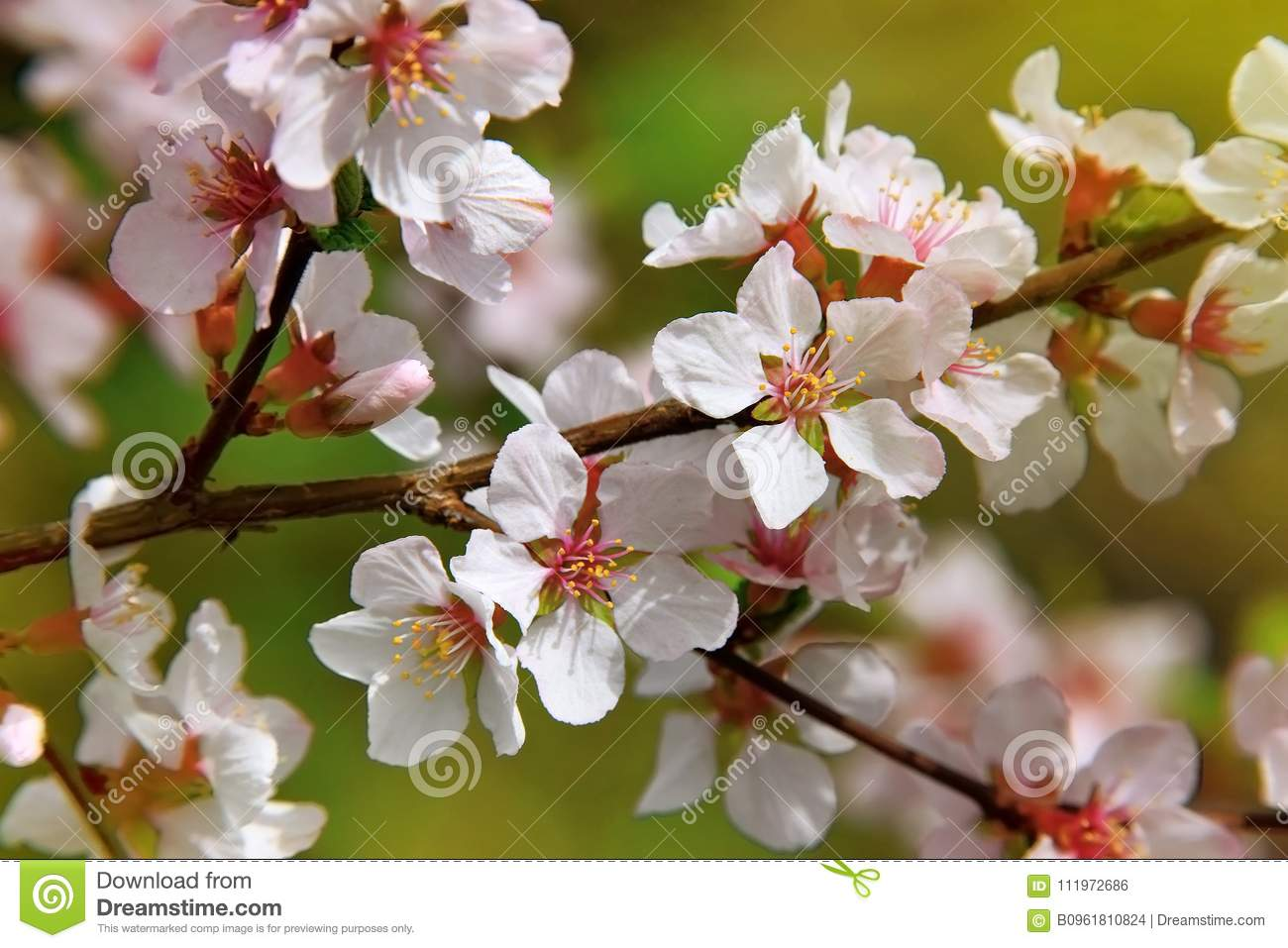 The cherry trees are blooming white flowers white cherry blos stock download the cherry trees are blooming white flowers white cherry blos stock photo image mightylinksfo