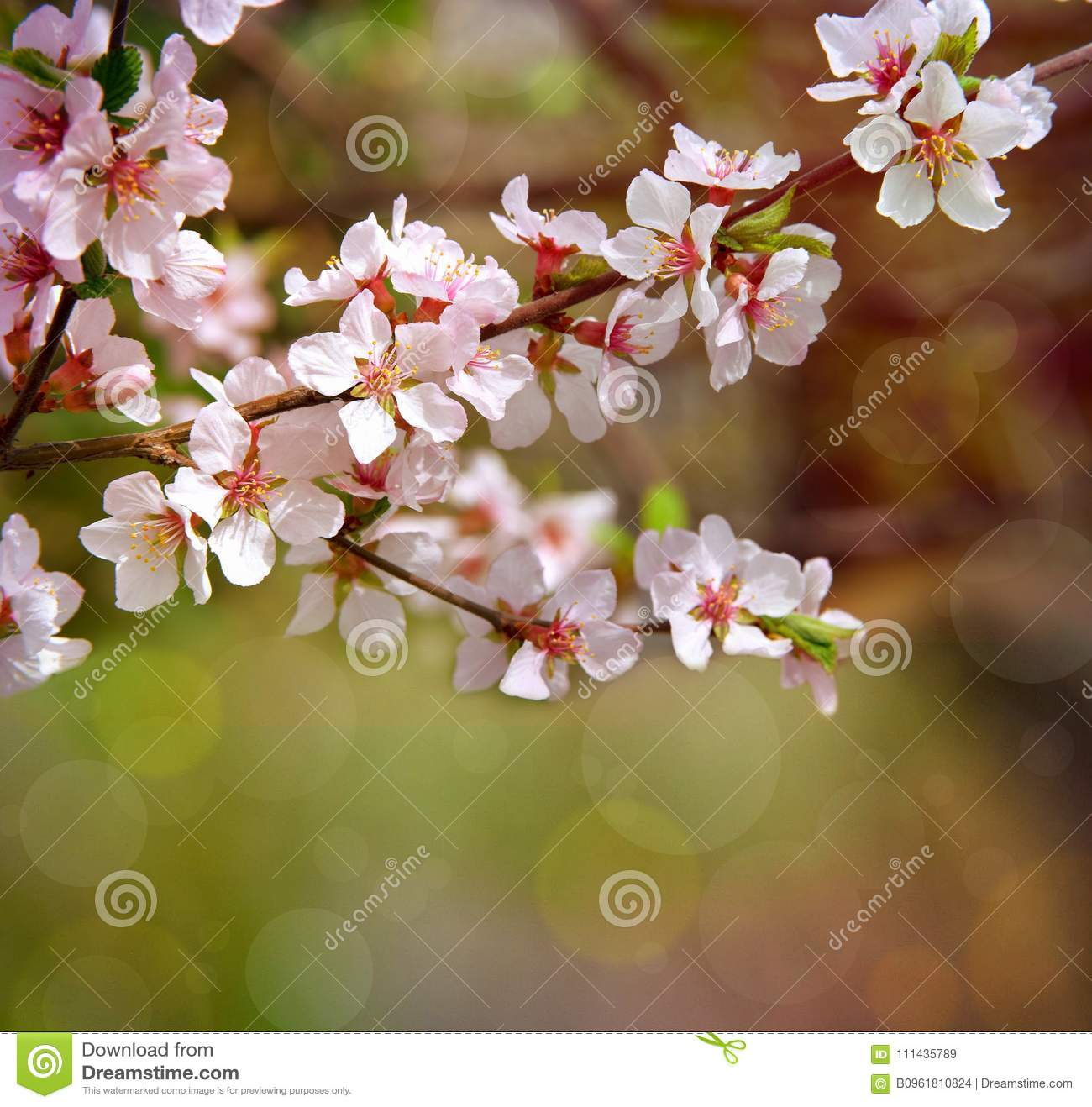 The cherry trees are blooming white flowers white cherry blossoms royalty free stock photo mightylinksfo Gallery