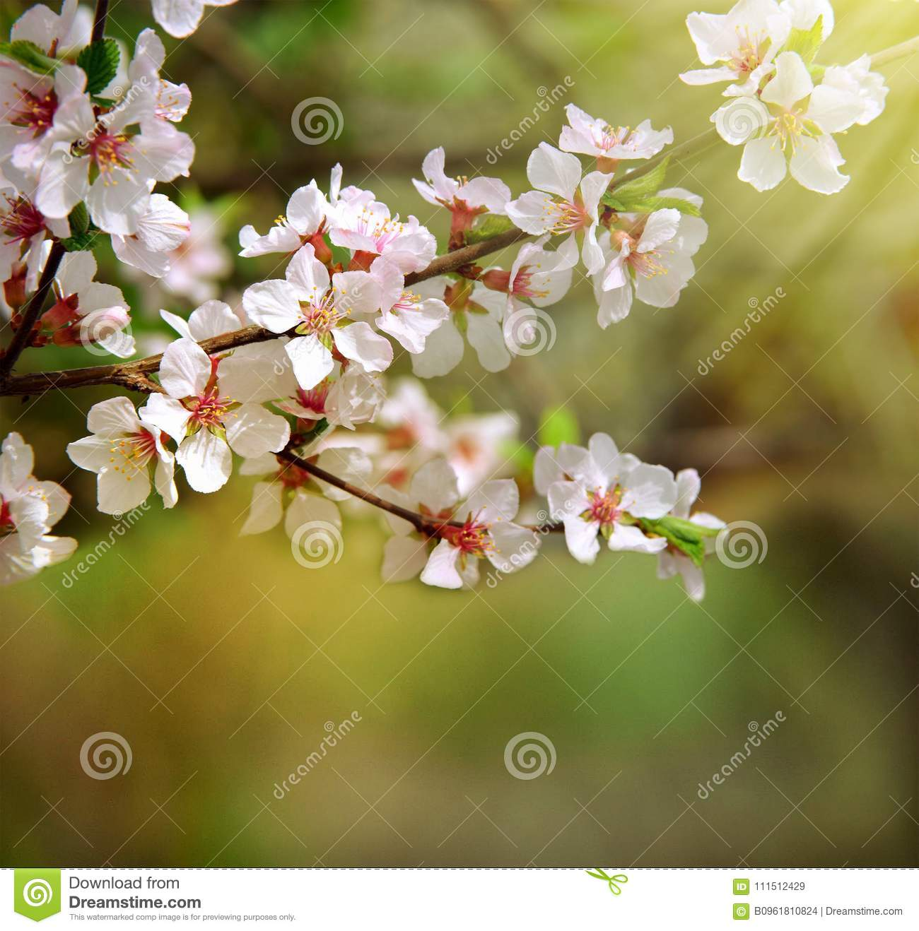 The Cherry Trees Are Blooming White Flowers White Cherry Blos Stock
