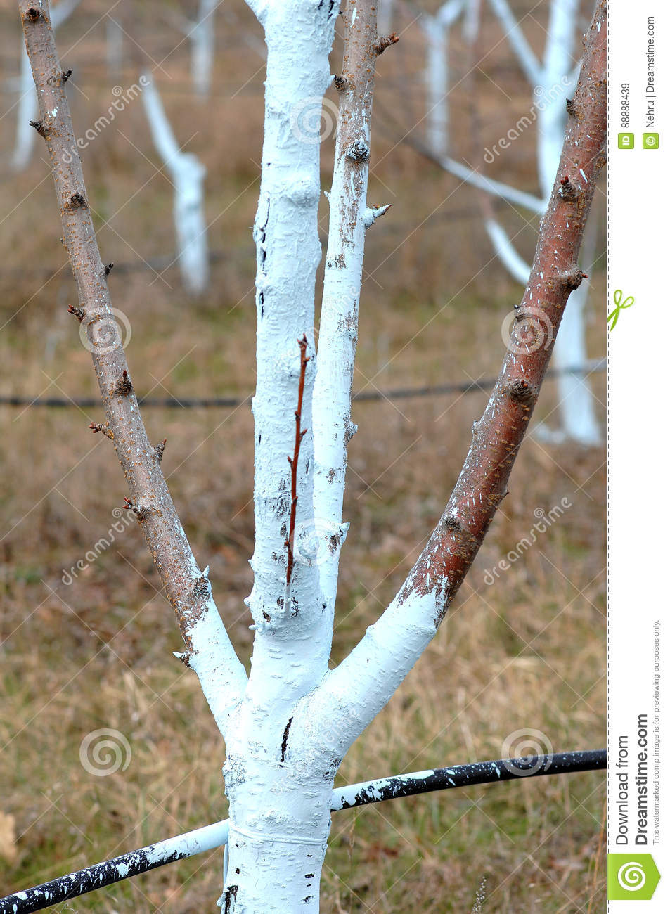Cherry trees treated with bordeaux mixture to combat mildew royalty free stock photography - Bordeaux mixture ...