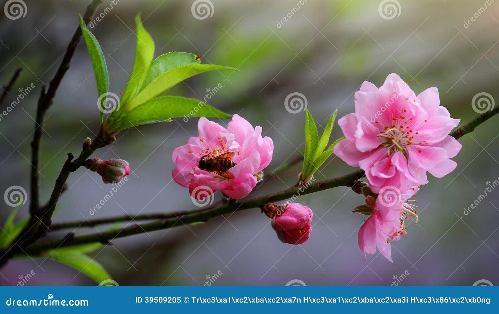 Cherry Vietnam
