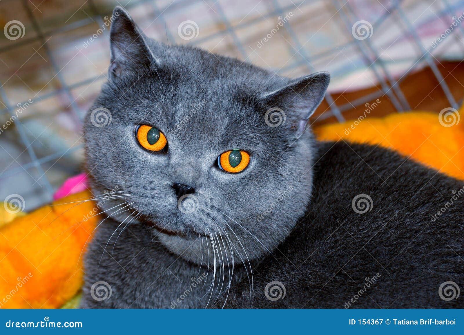 Cheshire-Katze