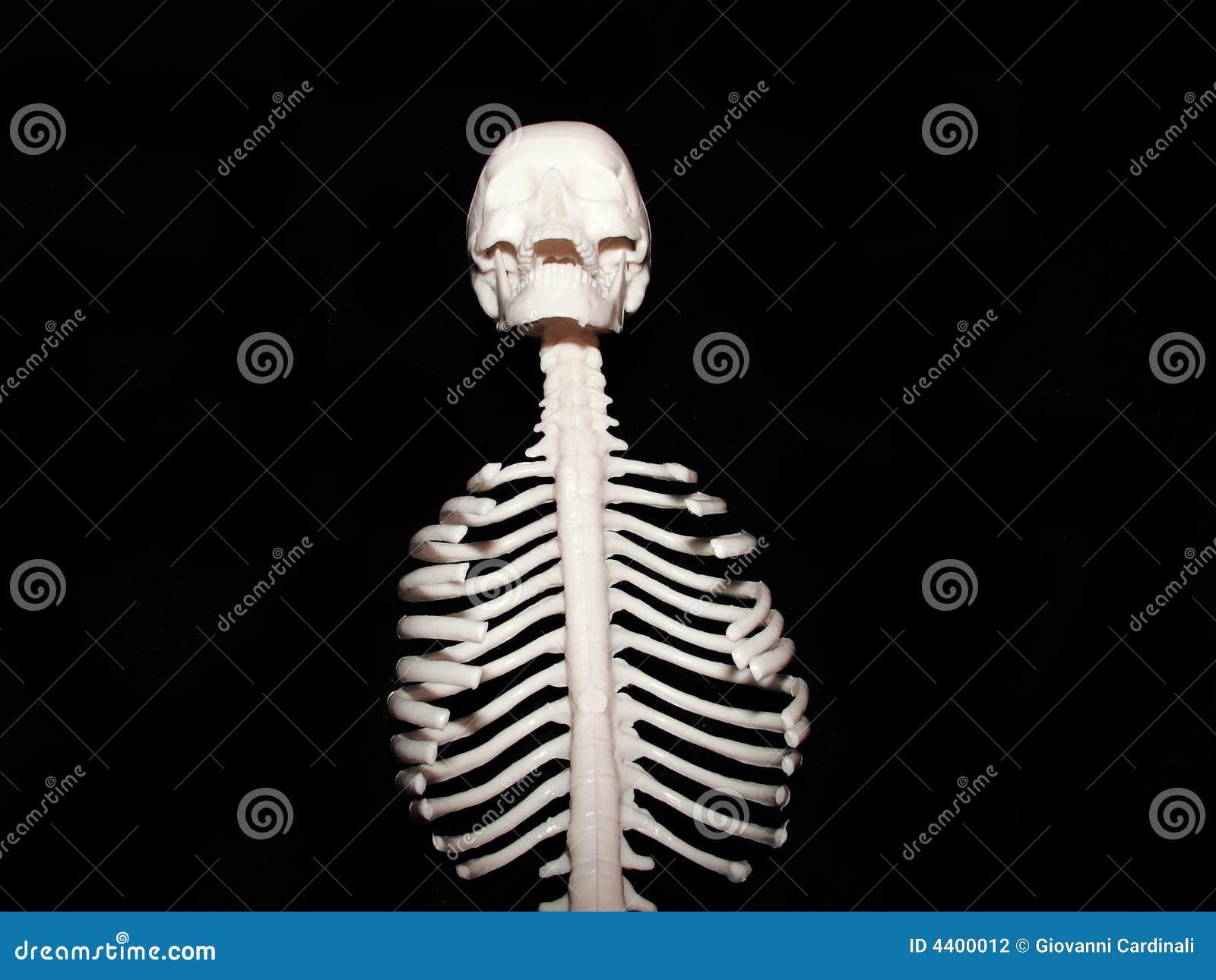 Chest Bones Stock Photo Image Of Medical Sternum Diagnosis 4400012