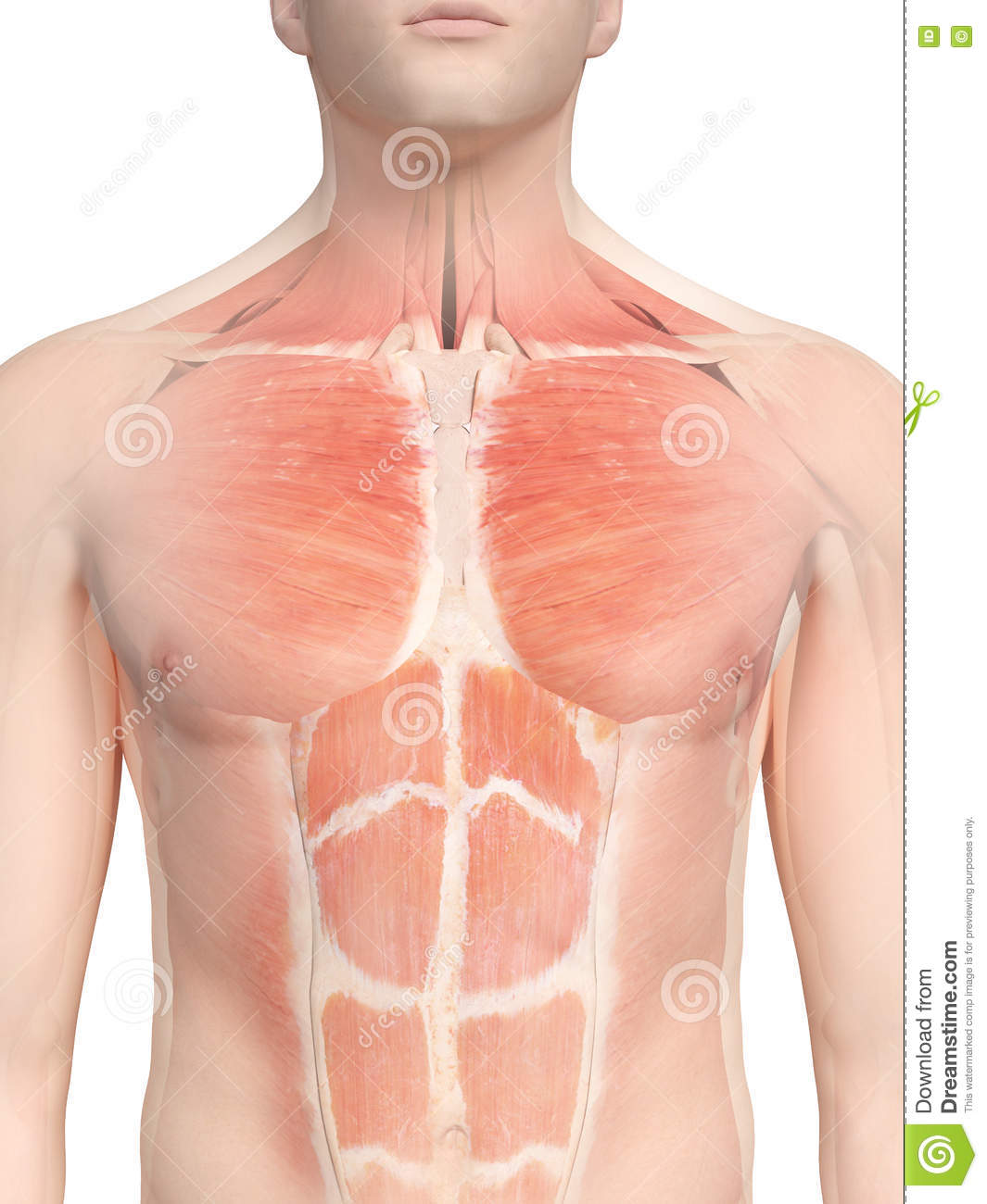 The Chest Muscles Stock Illustration Illustration Of Glass 75188765