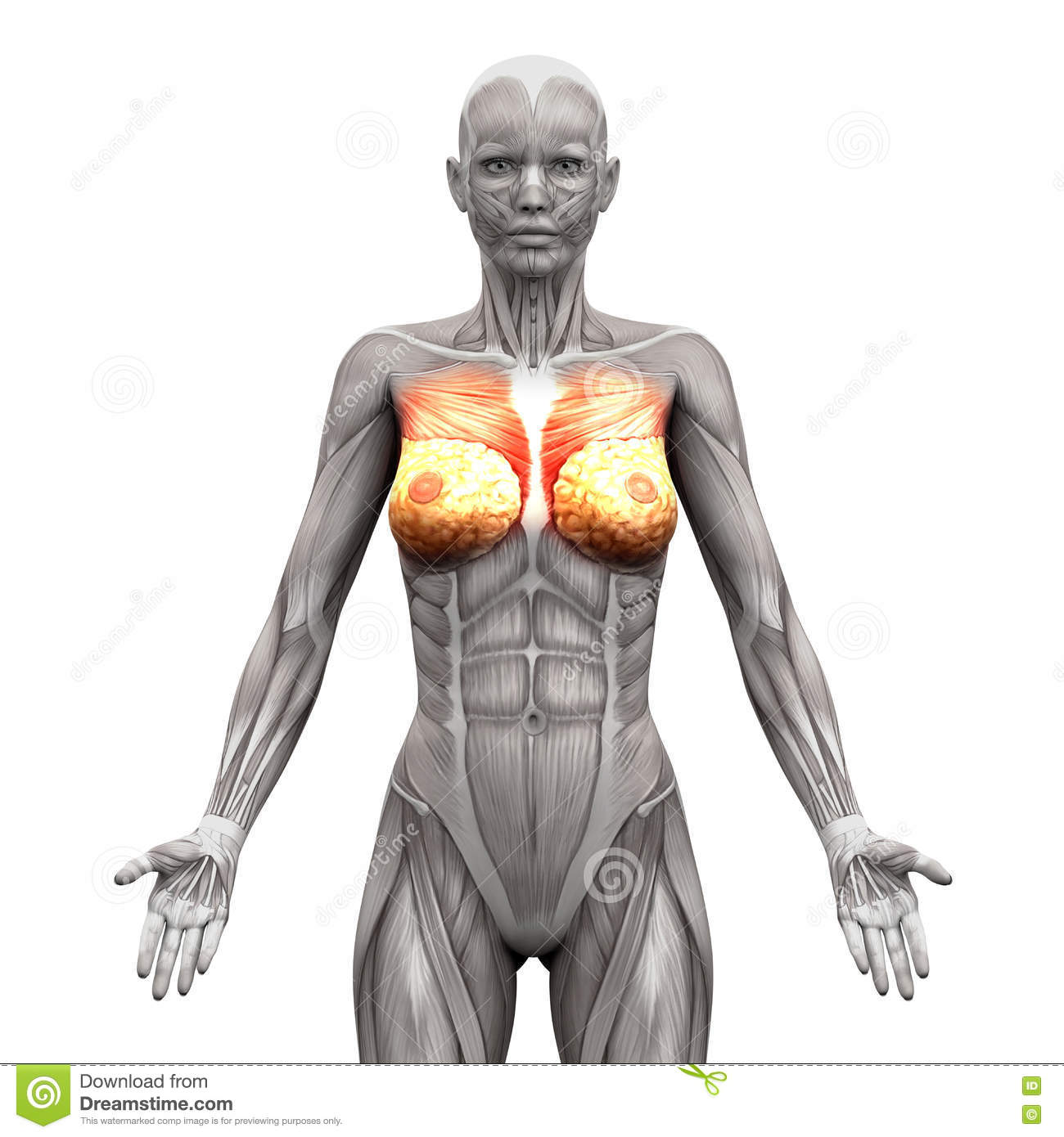Female Anatomy Muscles - Anterior View Stock Illustration ...