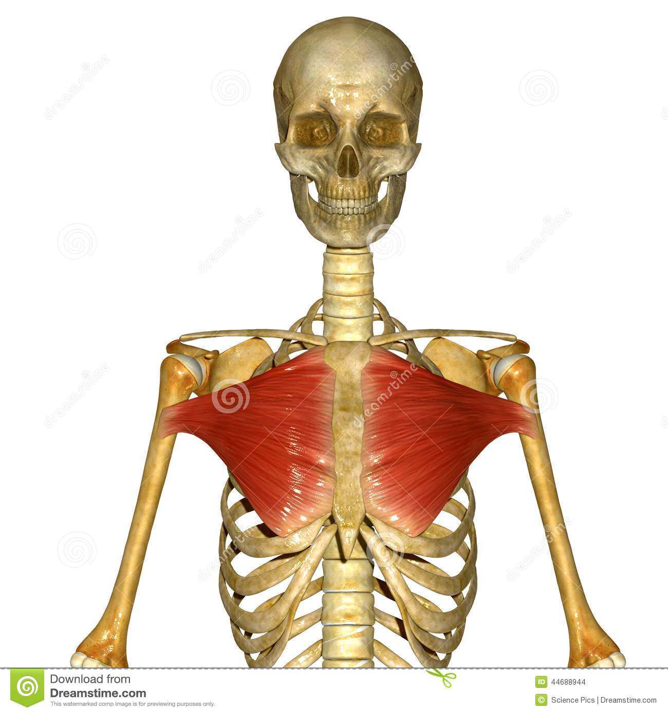 Chest muscles stock illustration. Illustration of illustration ...