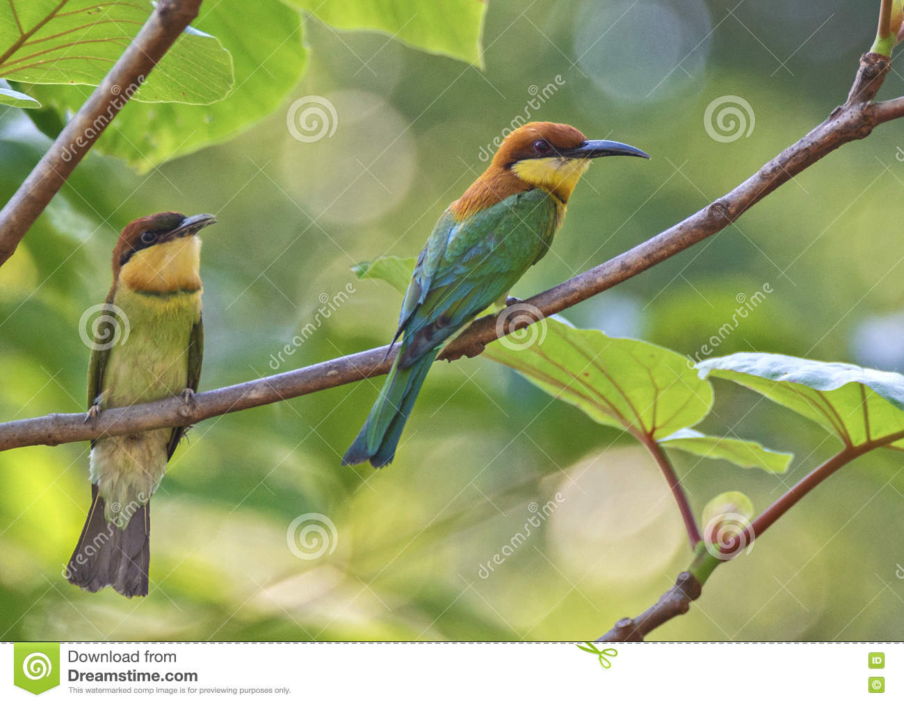 Chest-nut headed green bee eater