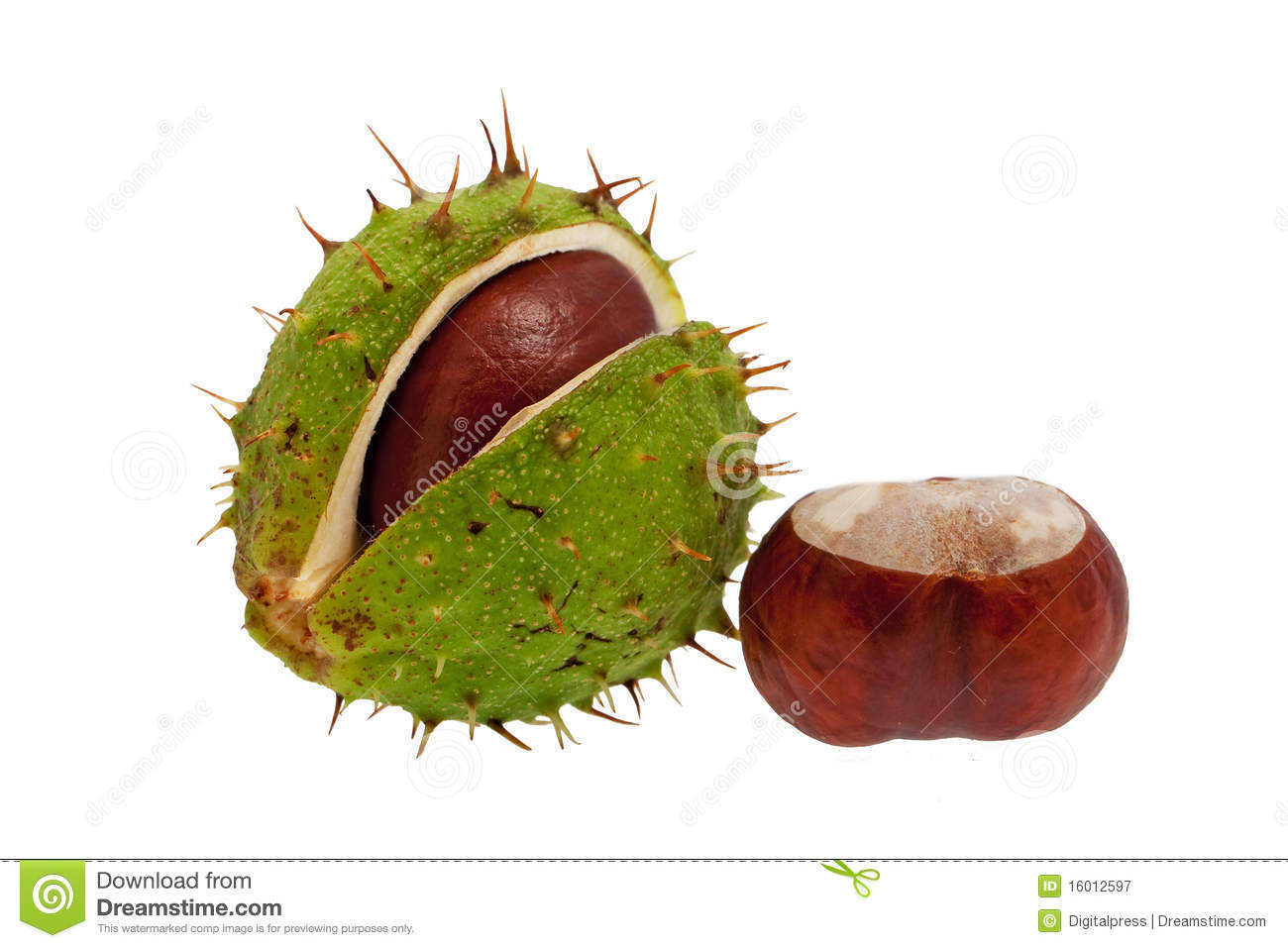 Chestnut royalty free stock photography image 16012597 for The chestnut