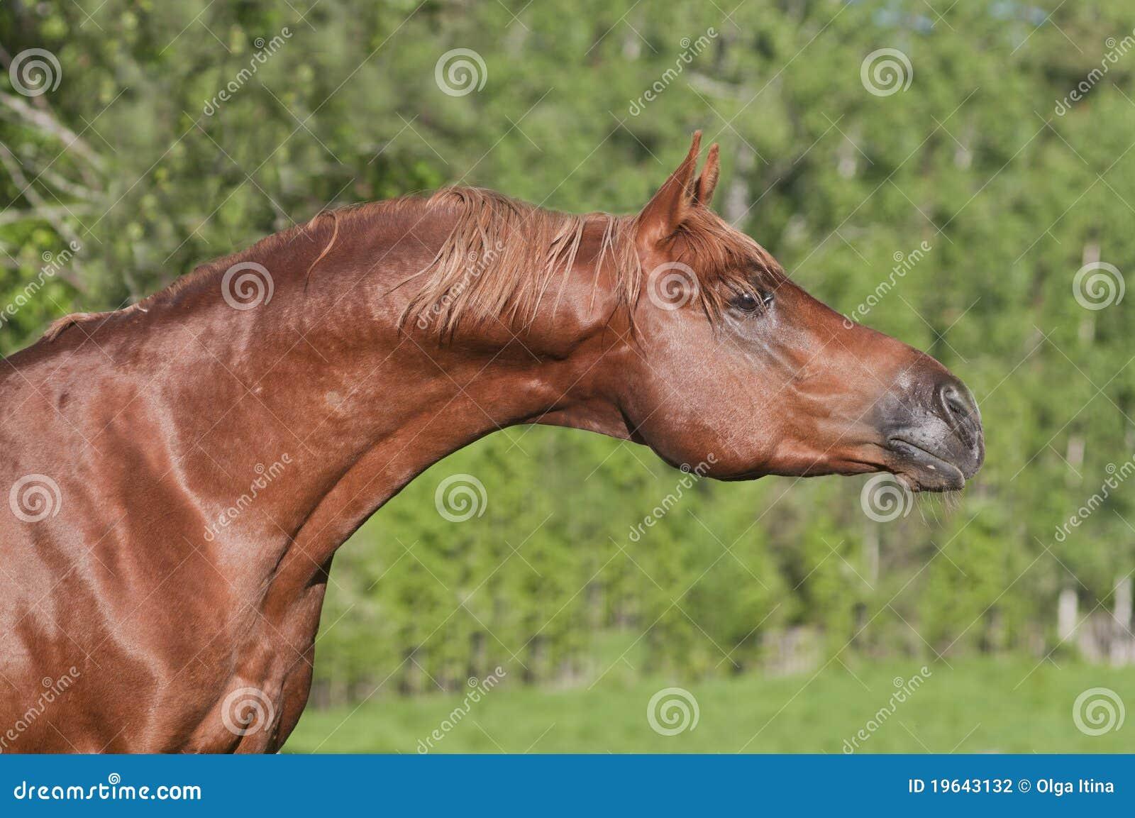 Chestnut Arab Horse Stock Photography - Image: 19643132 - photo#45
