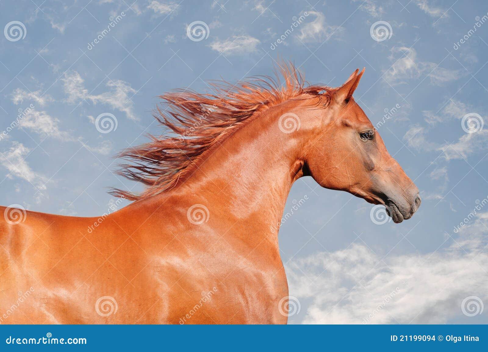Chestnut arab horse portrait
