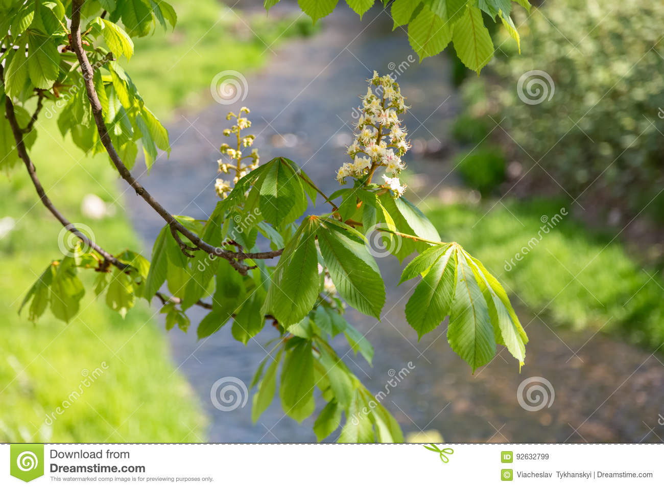 Chestnut blossoms by the river