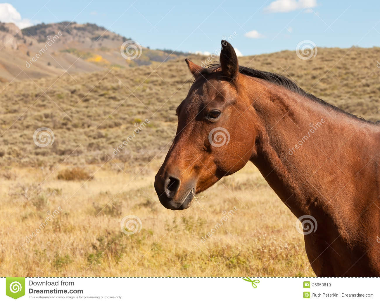 Chestnut Brown Horse Royalty Free Stock Images - Image ... - photo#31