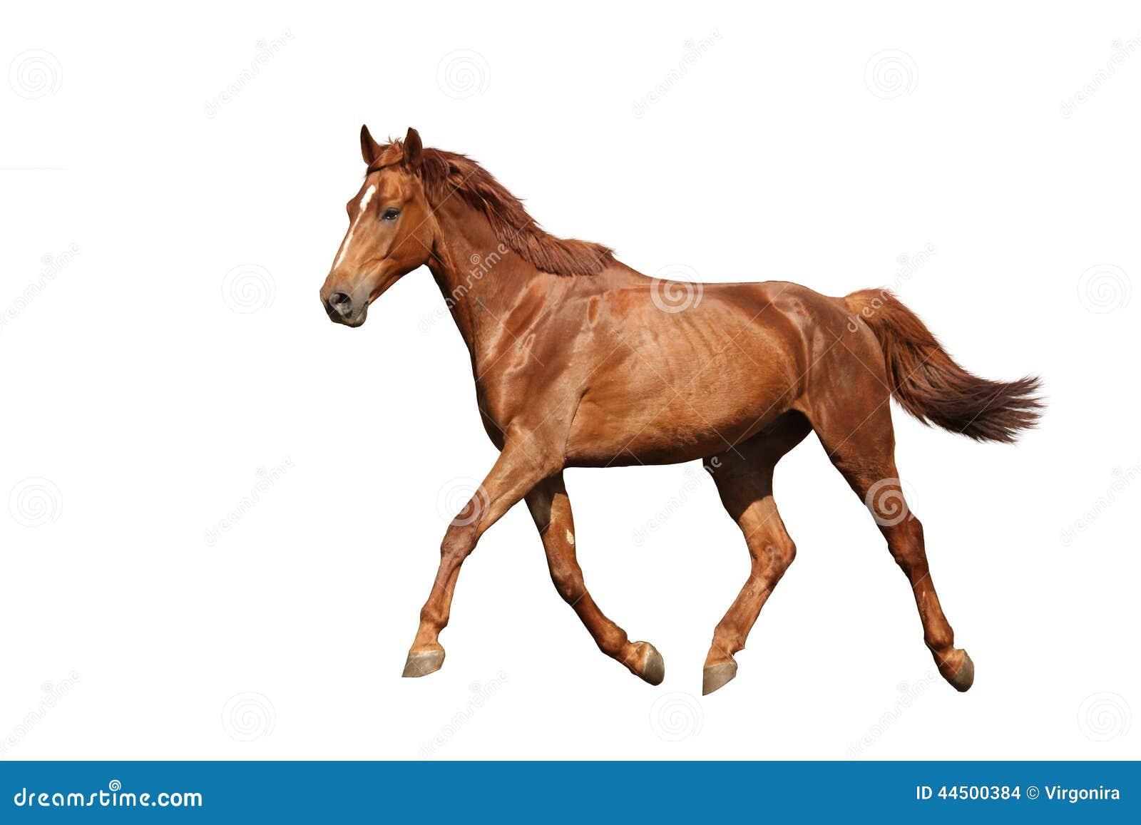 Chestnut Brown Horse Running Free On White Background ...