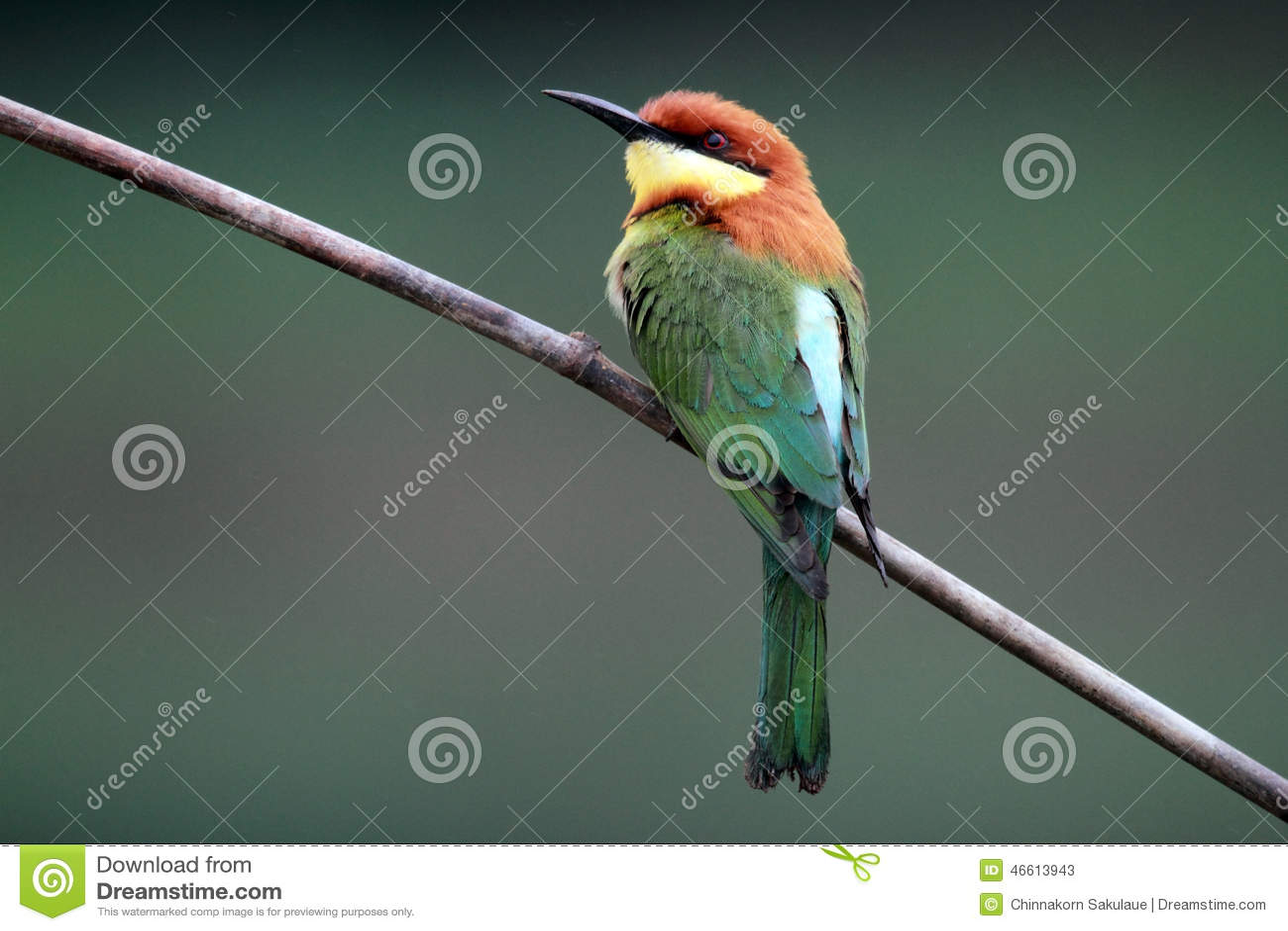 Chestnut-headed Bee-eater Bird Stock Image - Image of ... - photo#50