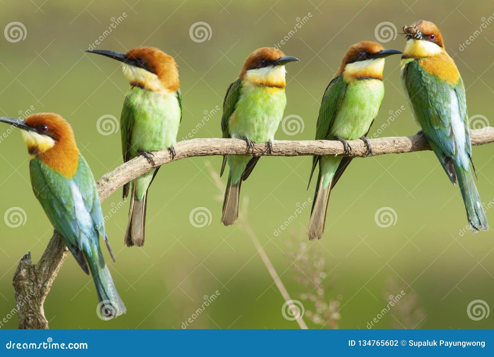 Chestnut-headed bee-eater breeding