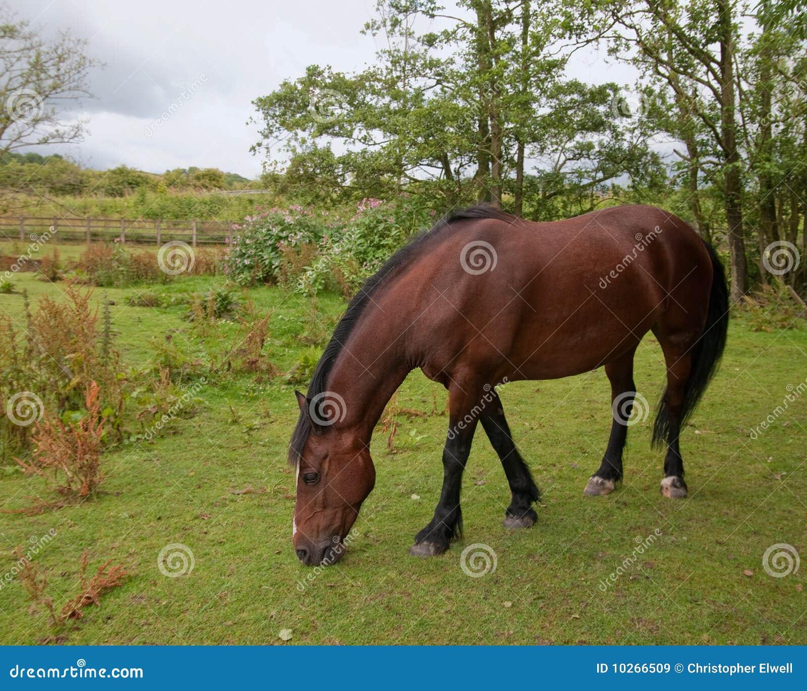Chestnut Horse Royalty Free Stock Images - Image: 10266509 - photo#19