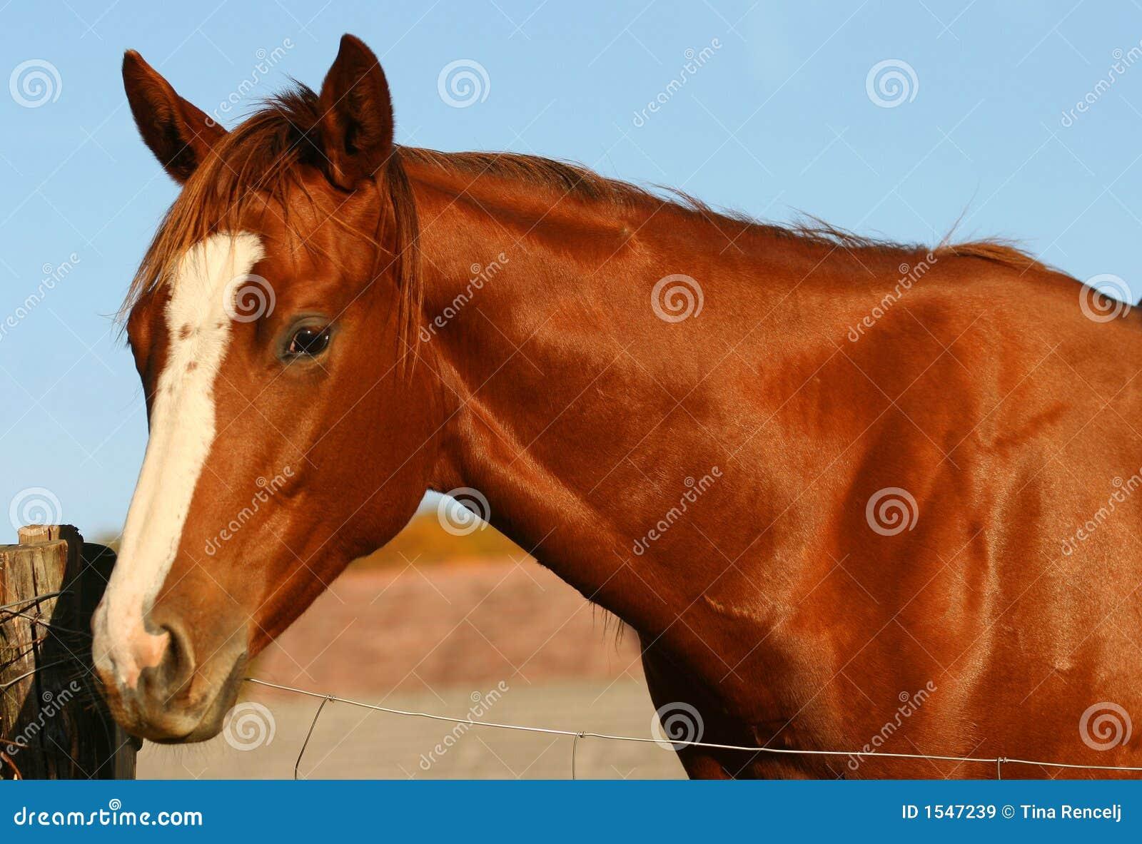 Chestnut Horse Royalty Free Stock Images - Image: 1547239 - photo#41