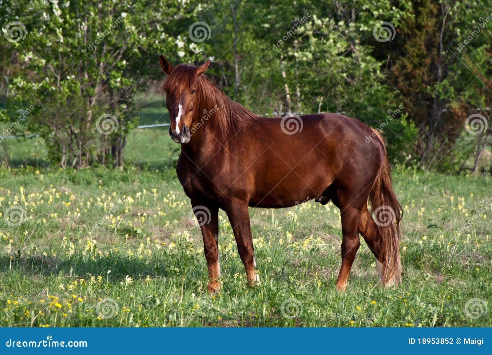Chestnut Horse Stock Photography - Image: 18953852 - photo#49