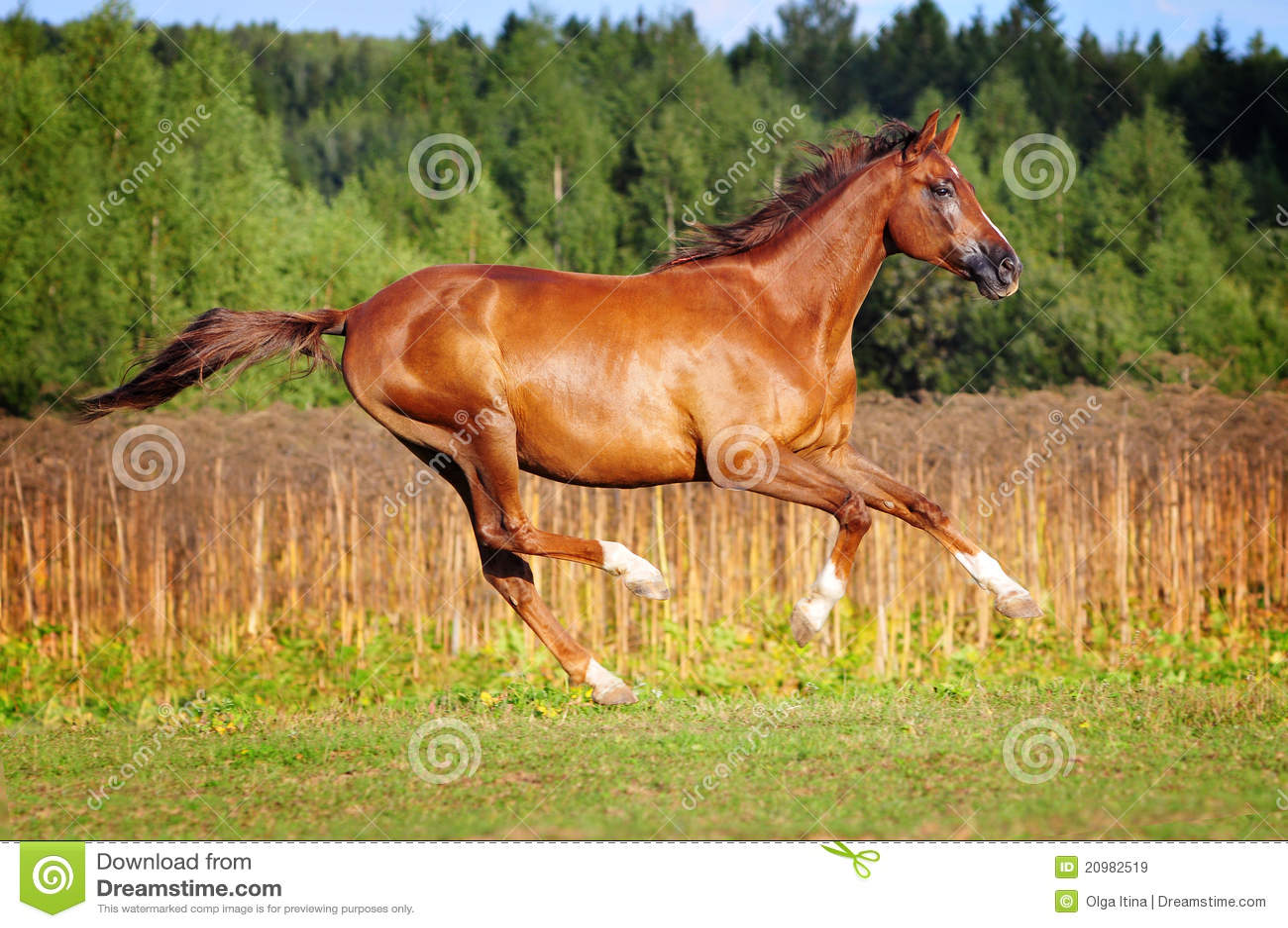 Chestnut Horse Royalty Free Stock Images - Image: 20982519 - photo#17