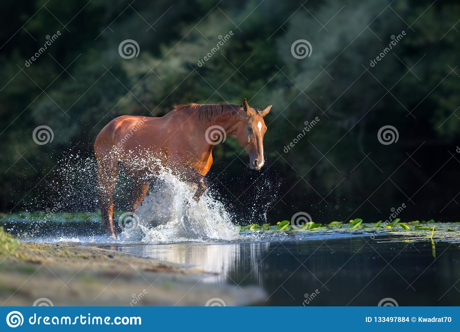 Chestnut horse in river