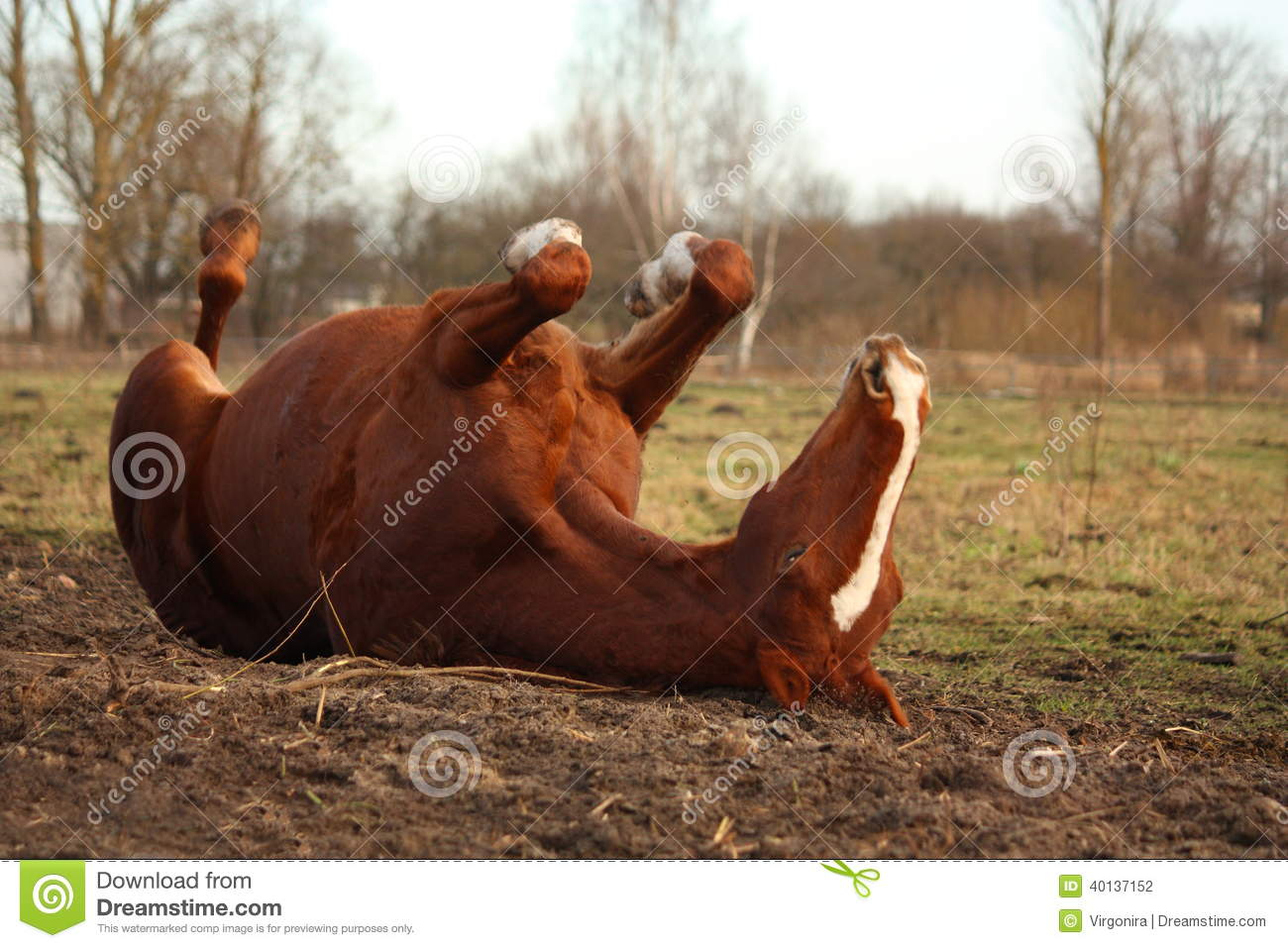 Chestnut horse rolling on the ground stock photo image
