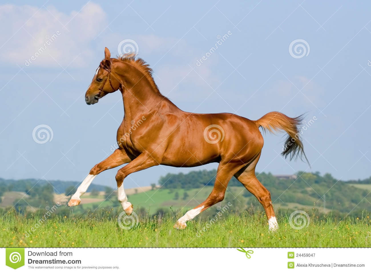 Chestnut Horse Run On The Green Hill. Royalty Free Stock ...