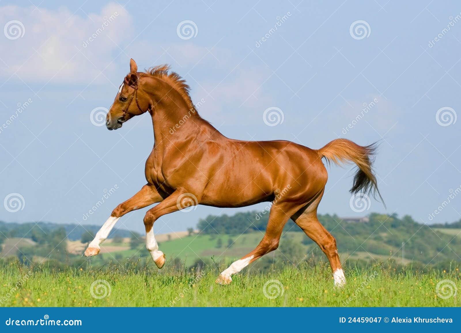 Chestnut horse run on ...