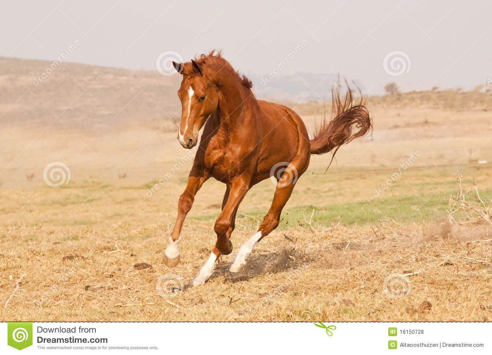 Chestnut Horse Running Stock Photo Image Of Pedigree 16150728