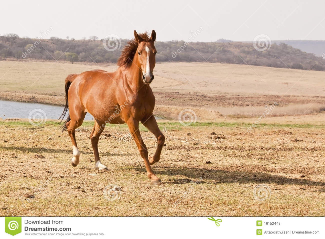 Chestnut horse running stock image. Image of nature, grass ...