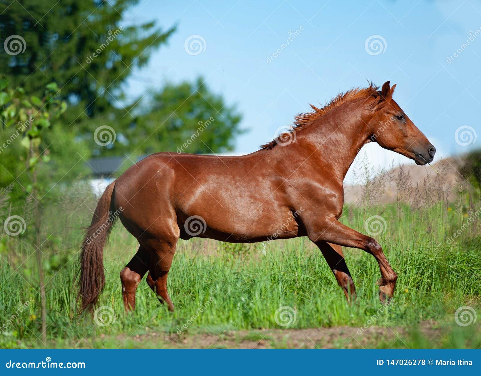 Chestnut Horse Running In Freedom Stock Photo - Image of ... - photo#14