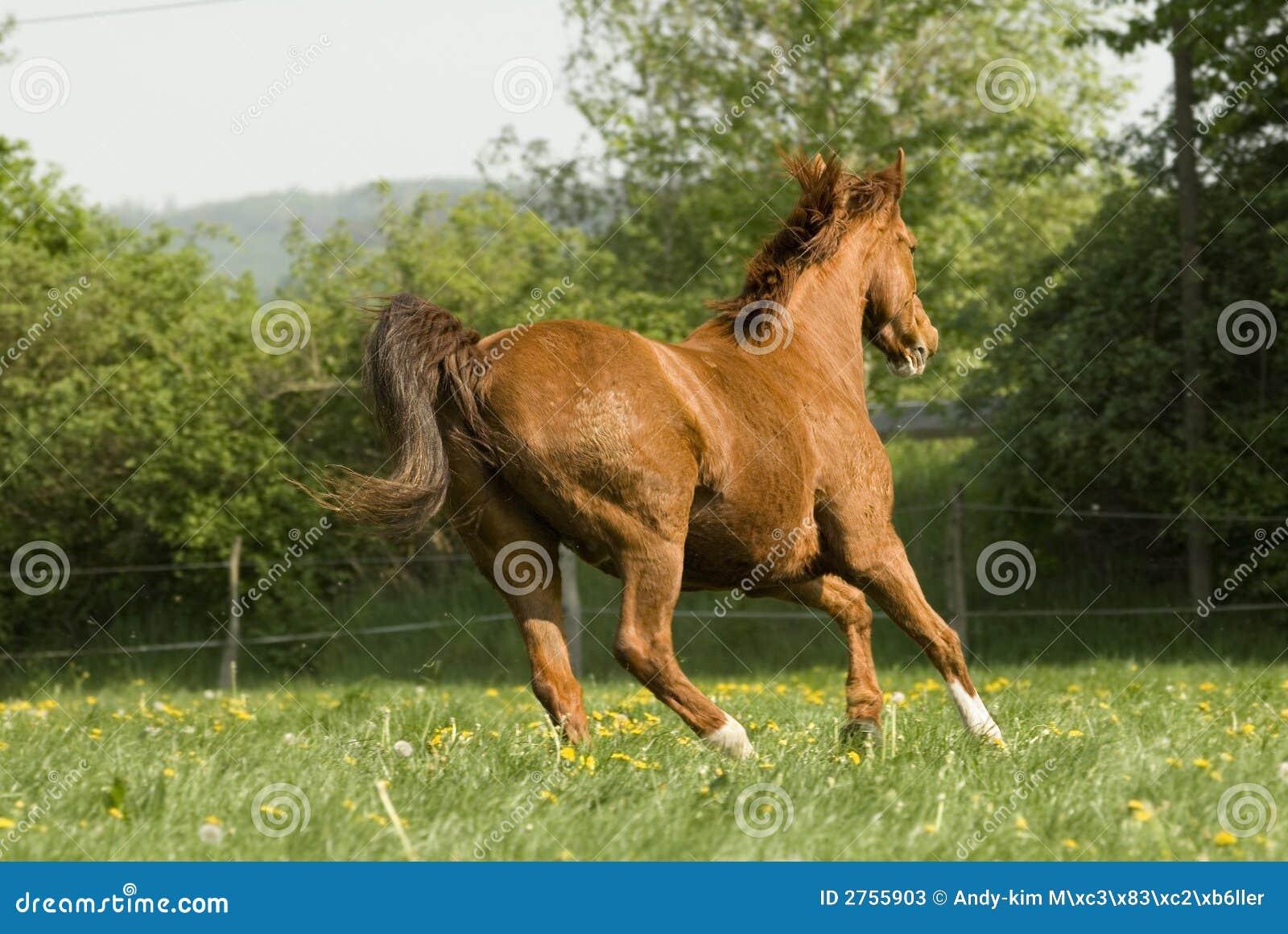 Chestnut Horse Running Wild Stock Image - Image: 2755903 - photo#34