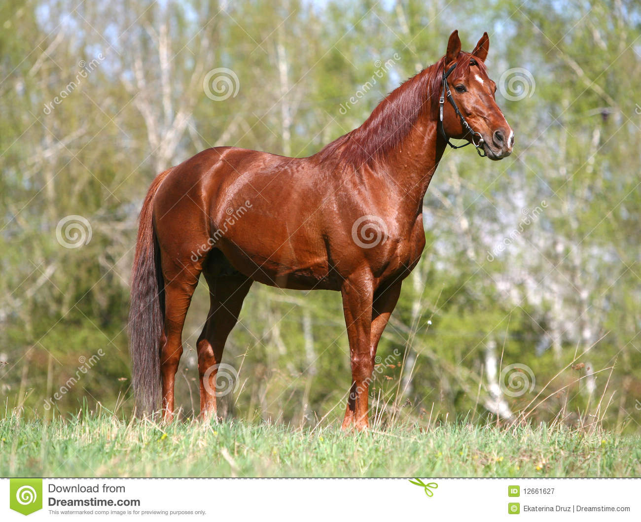 Chestnut Horse Standing On The Field Stock Image Image Of