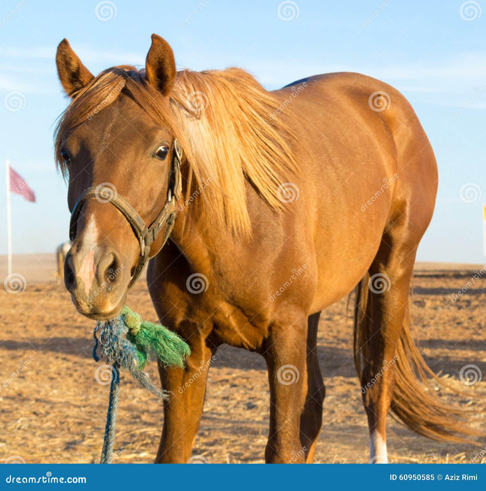 Chestnut Horse Stock Photo - Image: 60950585 - photo#44