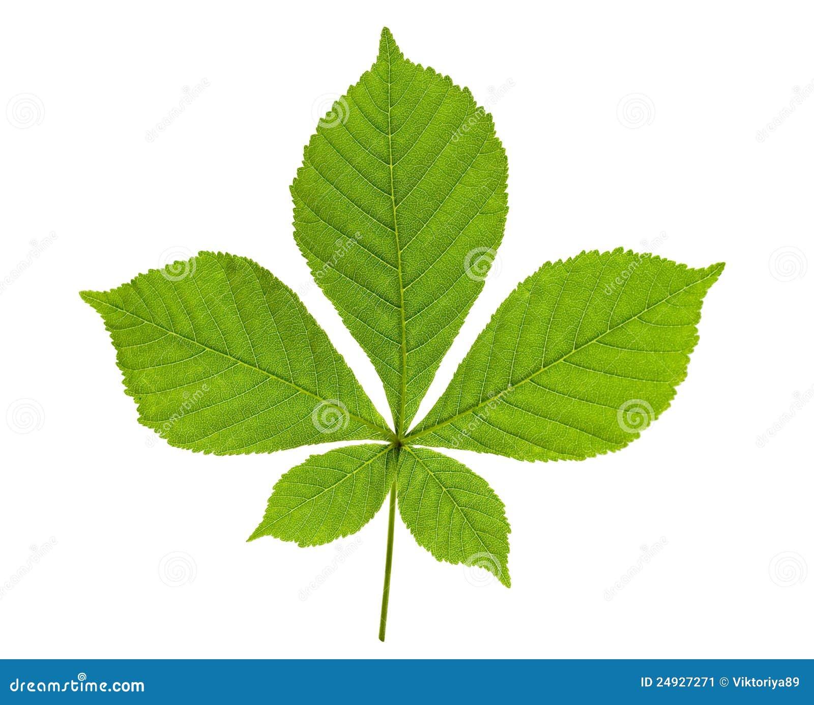 Chestnut Leaf Stock Image Image 24927271