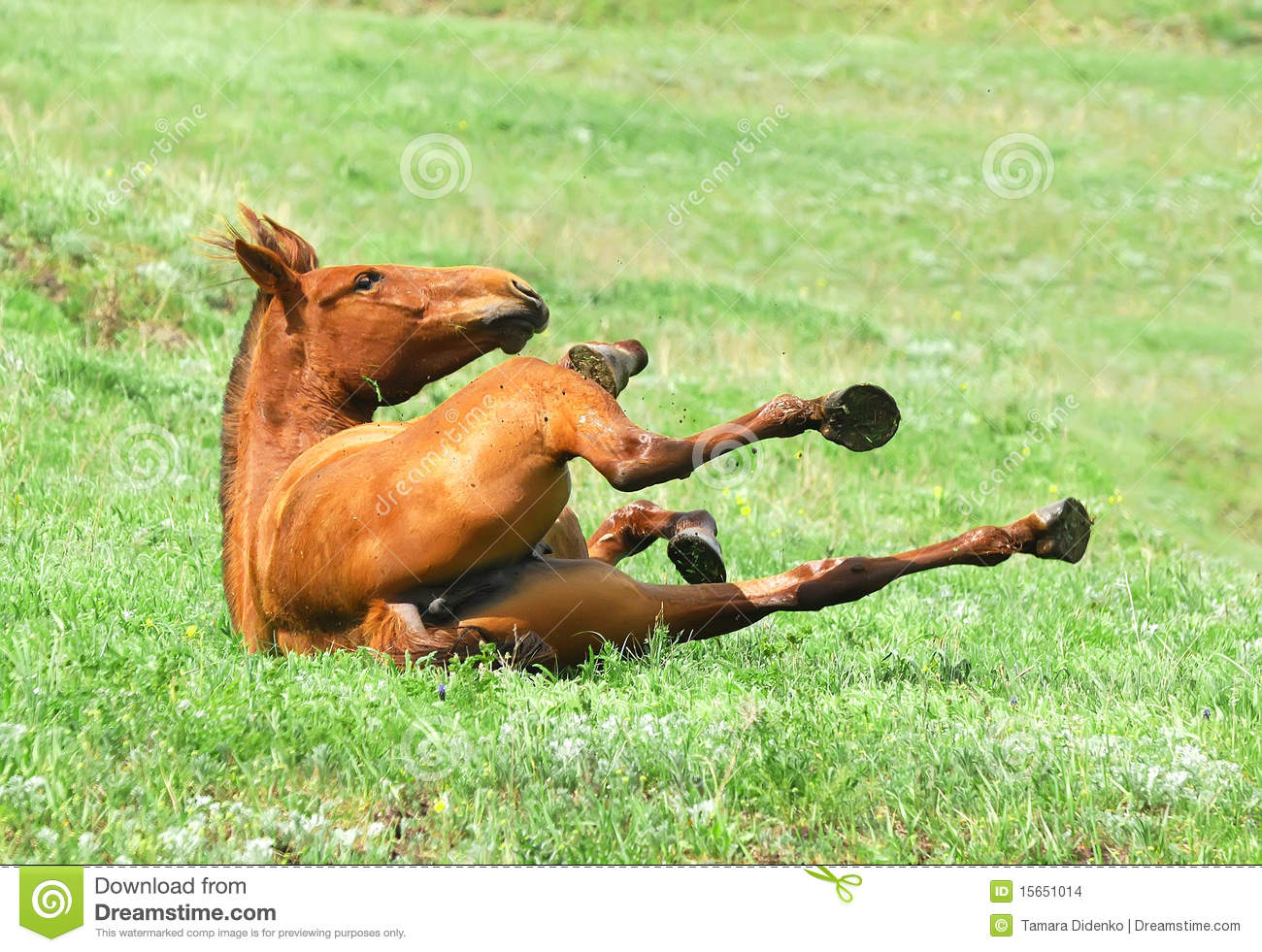 Chestnut Mare Rolling In The Grass On Pasture Stock Photo