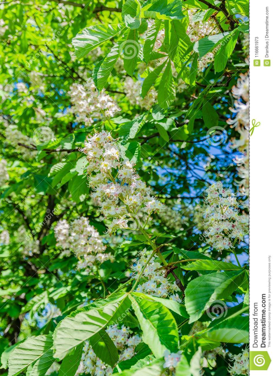 The Chestnut Tree Blossoms In The Spring Beautiful White With Pink
