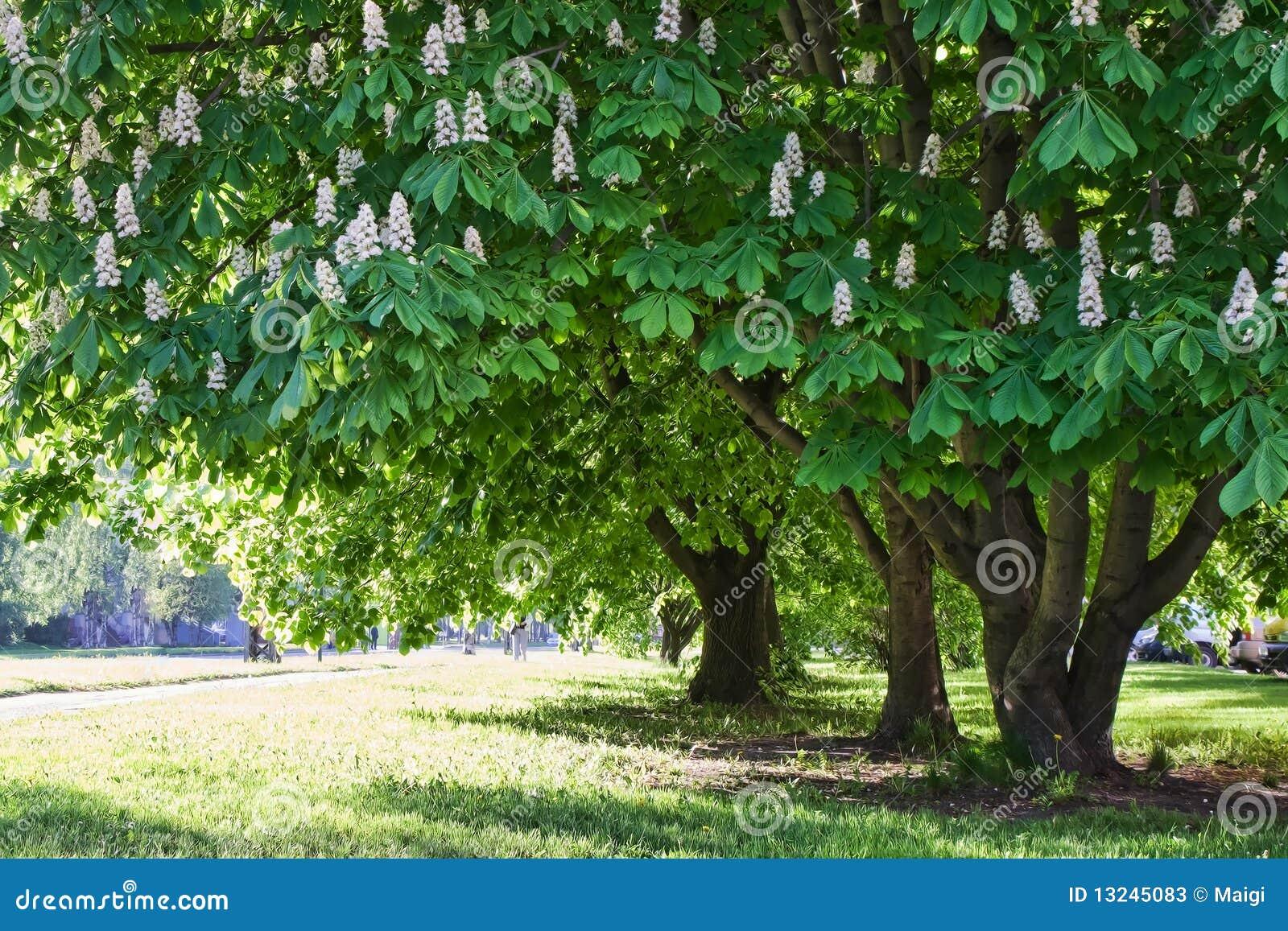Chestnut trees in park