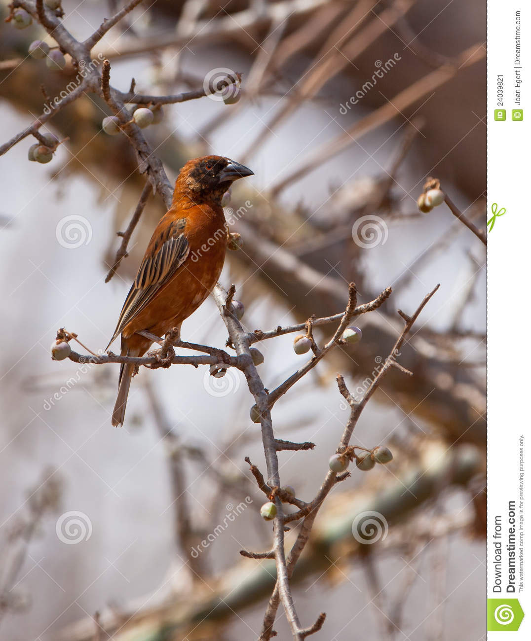 The Chestnut Weaver Bird Stock Image Image 24039821